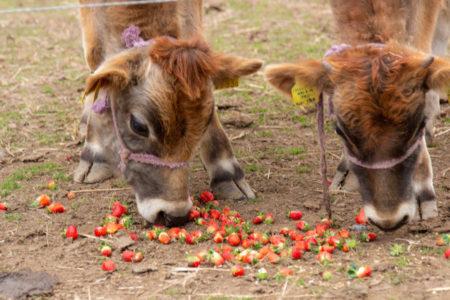 店横にはジャージー牛を放し飼いに。ジャージー牛もいちごが好物なのだとか。