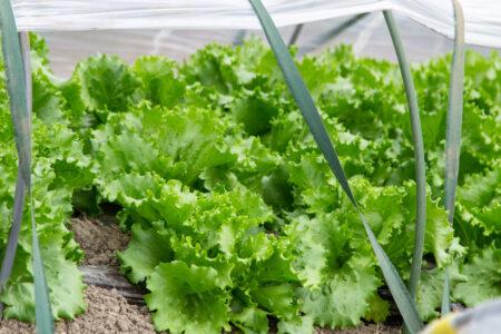米の農閑期にはレタスを栽培
