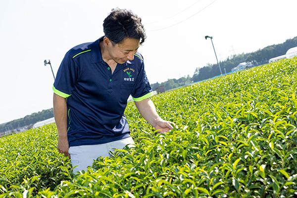 「さやまかおり」「やぶきた」など7品種の茶葉を栽培